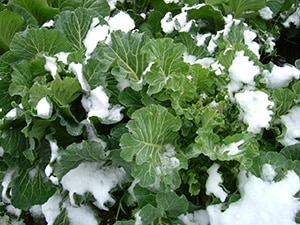 雪をかぶることは少なくなりましたが、霜で焼けてしまったりすることもなく、濃い緑色をしています。寒さの中、じっくりと育ちます。