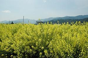 栄養価が高いだけでなくバランスの良い緑黄色野菜ケールはアブラナ科です。アブラナ科の野菜を摂りましょう。