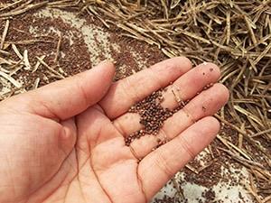 ケールの種は、毎年収穫されてまた次の栽培に生かされています。種もすべて有機栽培で育っています。安心・安全なケール栽培を目指しています。