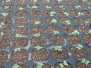 ケールの苗も自前で育てます。最初は小さな葉っぱですが、これが大人の手のひら4枚以上の大きさにまで成長するのですから、ケールはすごい。