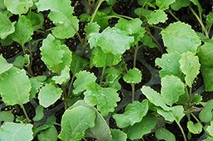 ケールの幼葉には、野菜の中で一番葉酸が多いので有名です。