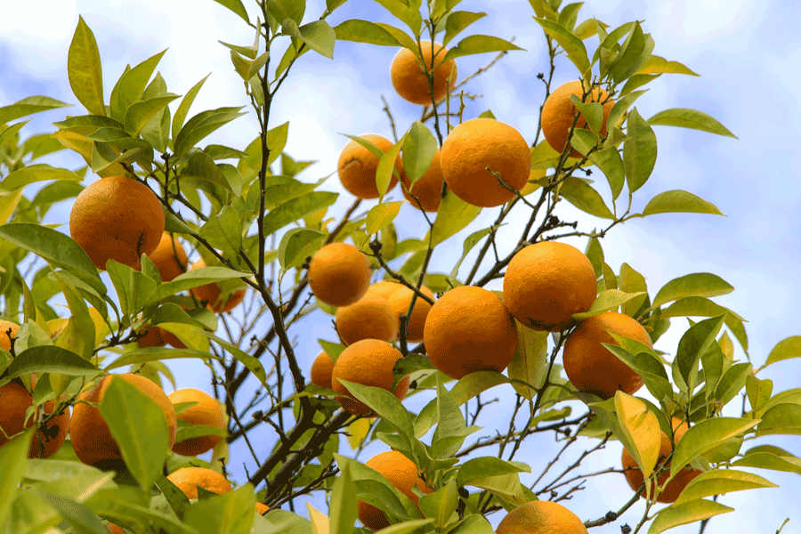 ビターオレンジ