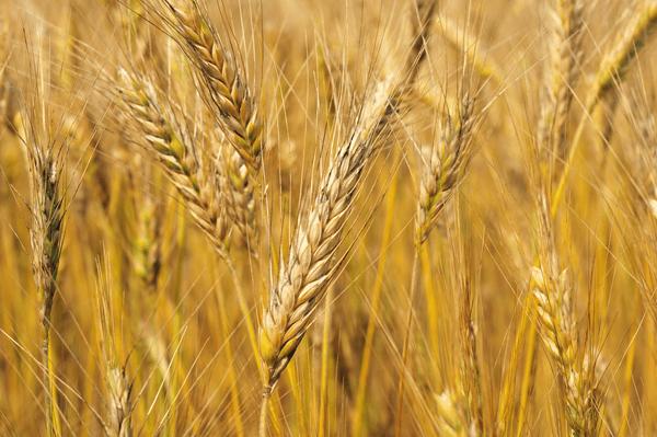 小麦胚芽オイル