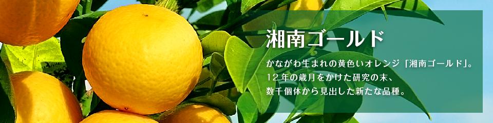 湘南ゴールド