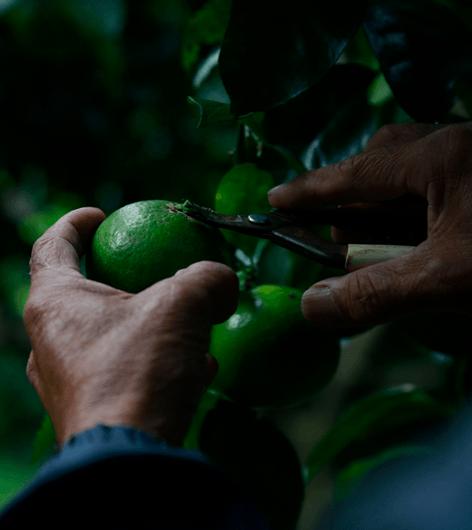 固有種・辺塚橙(へつかだいだい)の発酵エキス