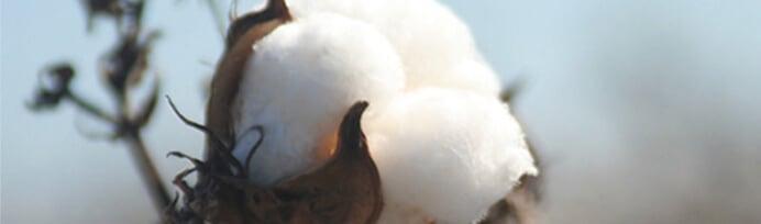 Cotton photo