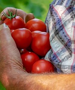 トマト農園画像
