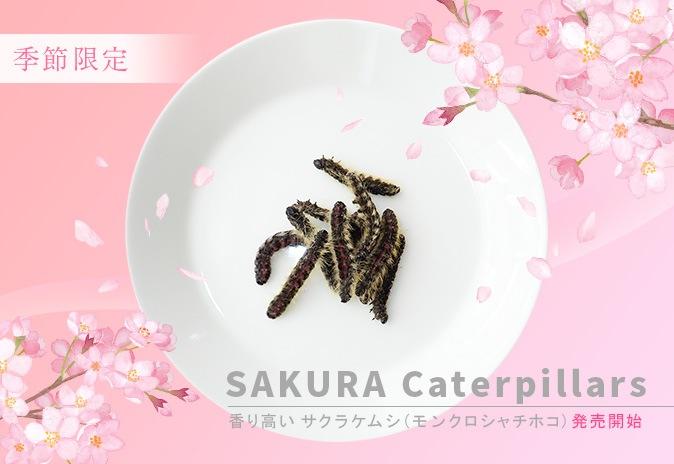 モンクロシャチホコの幼虫 サクラケムシです。