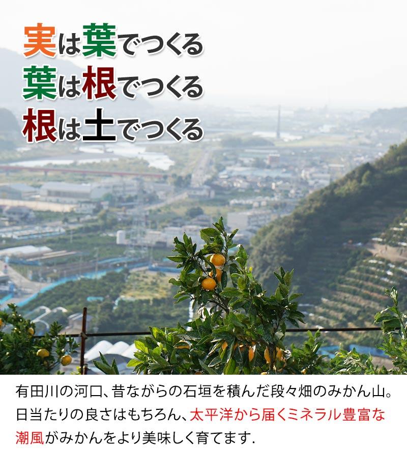 和歌山県ならではの石垣を積んだ段々畑で栽培される有田みかん