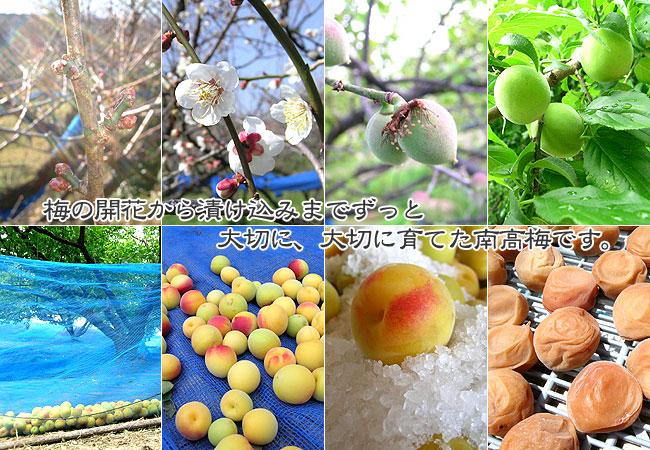 梅の開花から漬け込みまでずっと、大切に育てた南高梅です。