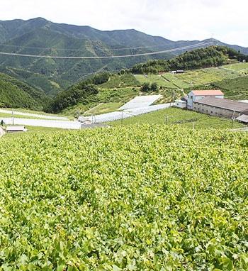 """西日本最大級のぶどう狩りの出来る観光農園""""有田巨峰村"""""""