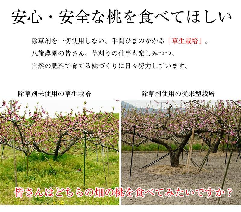 緑豊かな土のやわらかい桃畑と、除草剤で草がなくカチカチの土の桃畑。