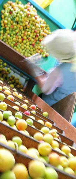 ころころ。。選果機を登る完熟梅たち。