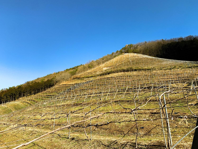 1958年開墾のマルサン(下部)と、1988年開墾の開拓園(上部)は、2.6haのワイナリーのアイコン的な畑。