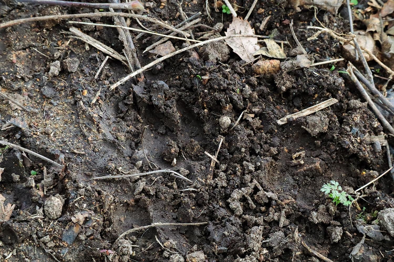 羊の足跡がついた湿った土壌