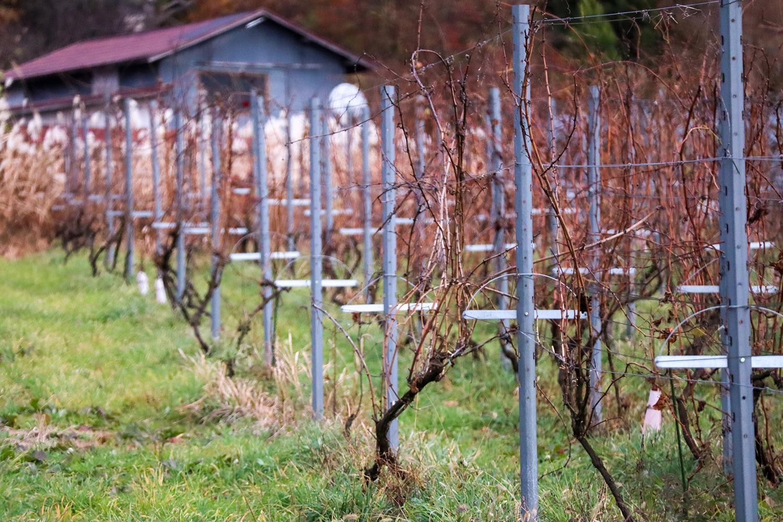 酒井ワイナリーの自社畑「狸沢(むじなざわ)」。カベルネ・ソーヴィニヨンをはじめとしたボルドー系品種が垣根仕立てで混植されている。