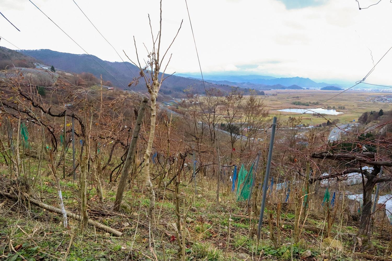 「森」と化した畑には雑木が生い茂り、支柱、葡萄、雑木が混然一体としている。
