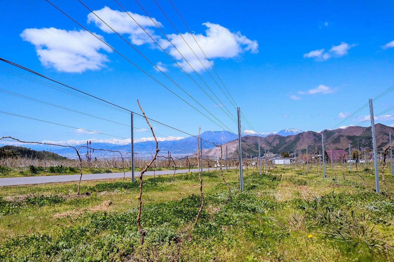 近年葡萄の栽培面積が急拡大している高山村。ワイナリー付近にはまだ若く細身の葡萄が散見される。