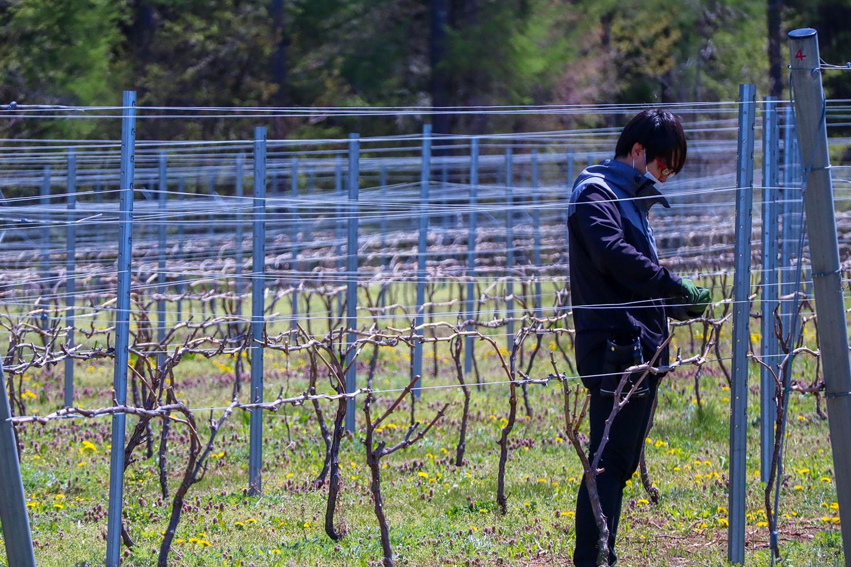 高山村の中核ワイナリーたる「信州たかやまワイナリー」では、若いスタッフの方の姿も多く見られる。