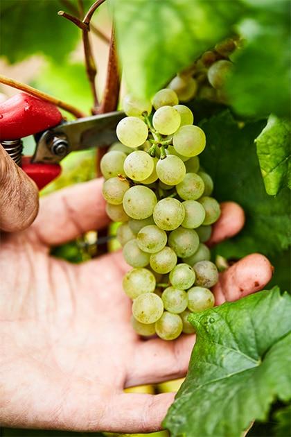 コルトン・シャルルマーニュのブドウ
