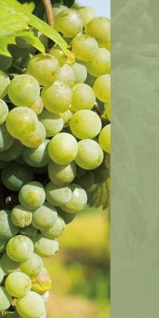 白ワイン品種