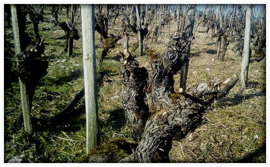 栽培ブドウ品種「アルテス」は1393年から存在。