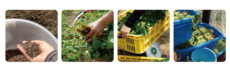 農薬不使用・化学肥料不使用。自然なままのパワーを追求するため、農薬不使用。化学肥料不使用での栽培にこだわりました。 対馬の風土に合った栽培ノウハウを一つ一つ積み重ね、ルチンの量がもっとも高まる時期に収穫・加工しています。