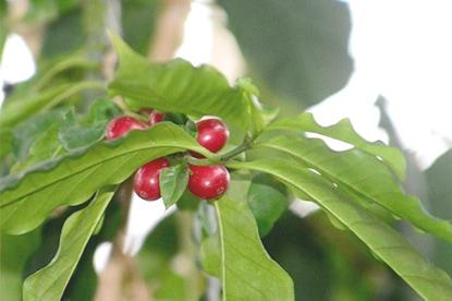 コーヒー豆はどうやって栽培されている?