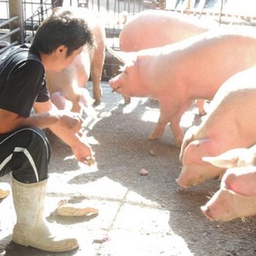 キビマル豚