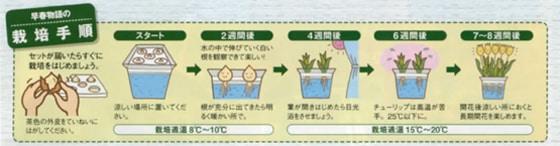 1月咲チューリップ水栽培セット