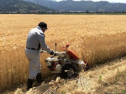 バインダーでの収穫