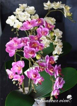 ボヌールヴィエント「Phalaenopsis 」gf-004