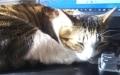 PCのキーボードを枕に寝る猫