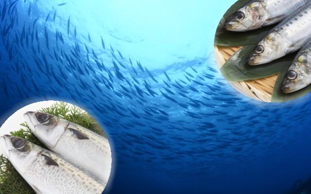 日本近海の魚の食材