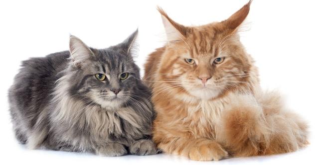 猫の種類メインクーン