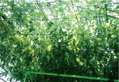 新林の滝 体験談トマト農園2