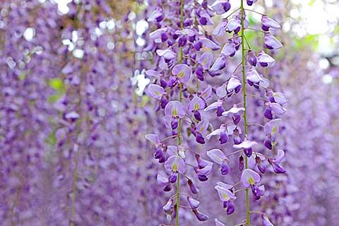 蓮華寺池公園に咲く藤枝市の花「藤」