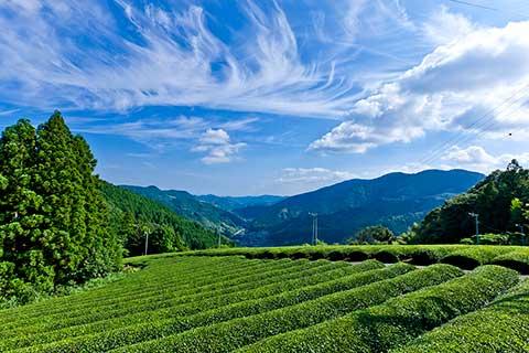 市内山間部の茶畑