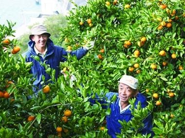 無茶々園にてみかんの収穫