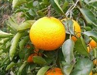 無茶々園の清見オレンジ