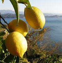 無茶々園のレモン