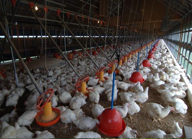 写真:鶏舎の中の様子