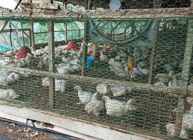 写真:つくば鶏の鶏舎