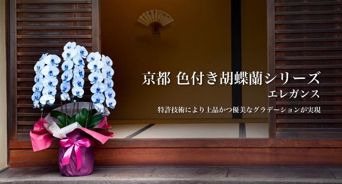 京都 色付き胡蝶蘭シリーズ