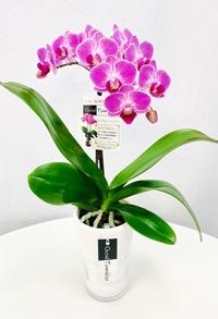 ミディ胡蝶蘭1本立 タンブラー 紫ピンク