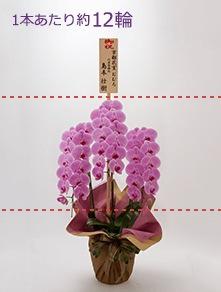 はんなり胡蝶蘭 ピンク大輪3本立 梅
