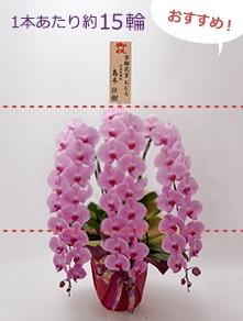 はんなり胡蝶蘭 ピンク大輪3本立 竹
