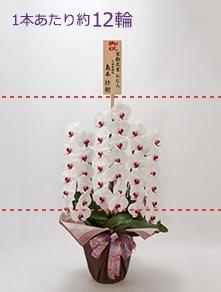 はんなり胡蝶蘭 紅白大輪3本立 梅