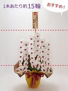 はんなり胡蝶蘭 紅白大輪3本立 竹