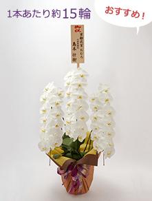 はんなり胡蝶蘭 白大輪3本立 竹
